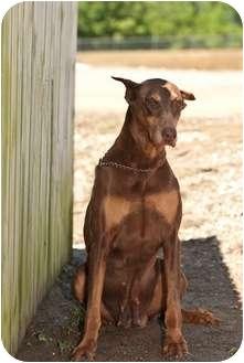 Doberman Pinscher Dog for adoption in Muldrow, Oklahoma - Kate