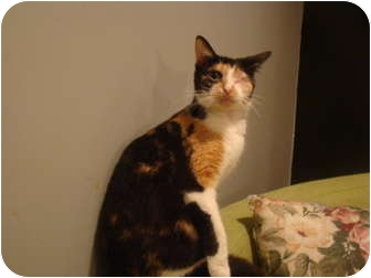 Domestic Shorthair Cat for adoption in Muncie, Indiana - Peek-A-Boo--PETSMART