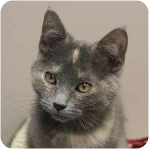 Domestic Shorthair Kitten for adoption in Naperville, Illinois - Sissy