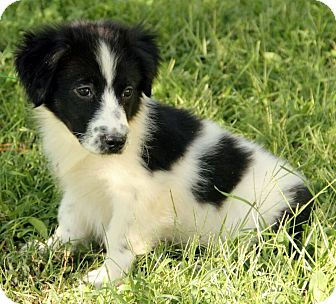 Border Collie Mix Puppy for adoption in Spring Valley, New York - Gavin