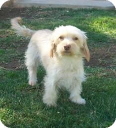 Dachshund/Shih Tzu Mix Dog for adoption in Tustin, California - Peaches