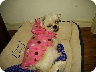 Shih Tzu Dog for adoption in Sheridan, Oregon - Mercy