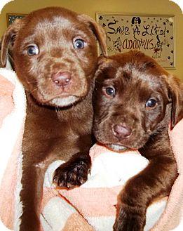 Labrador Retriever Puppy for adoption in Oswego, Illinois - I'M ADOPTED Coco Puffs Max
