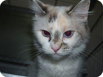 Turkish Van Cat for adoption in El Cajon, California - Lexie