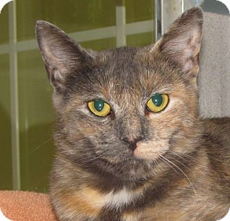 Domestic Shorthair Cat for adoption in Walden, New York - Elsie