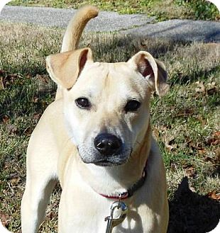 Labrador Retriever/Fox Terrier (Smooth) Mix Dog for adoption in Allentown, Pennsylvania - Theo
