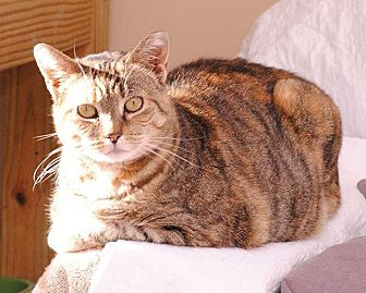 American Shorthair Cat for adoption in Middletown, New York - Rainbow