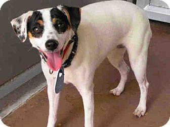 Rat Terrier Dog for adoption in El Cajon, California - Penny, Adoption Pending
