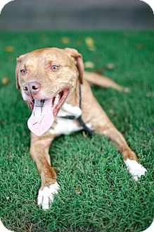 Pit Bull Terrier/Labrador Retriever Mix Dog for adoption in Brooklyn, New York - Arlo