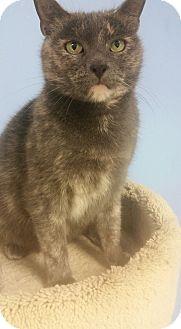 Domestic Shorthair Cat for adoption in Glen Mills, Pennsylvania - Luna