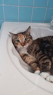 Domestic Shorthair Cat for adoption in Bronx, New York - Ruby