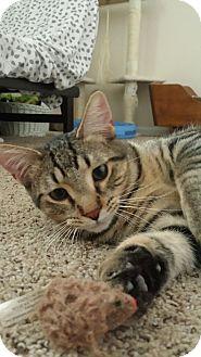 Domestic Shorthair Cat for adoption in Cedar Springs, Michigan - Tobias