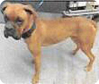 Boxer Mix Dog for adoption in Spokane, Washington - Rocky