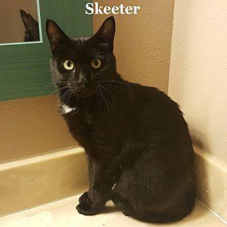 Domestic Shorthair Kitten for adoption in Bentonville, Arkansas - Skeeter