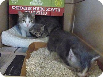 Domestic Shorthair Kitten for adoption in Monterey, Virginia - Matthew