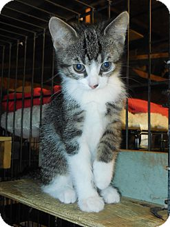 Domestic Shorthair Kitten for adoption in Whiting, Indiana - Fiona