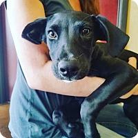 Adopt A Pet :: Black Lab - Austin, TX