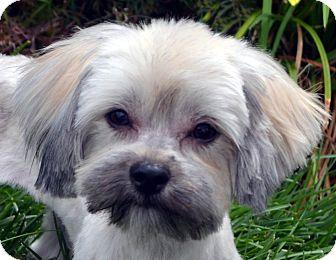 Poodle (Miniature)/Shih Tzu Mix Dog for adoption in Bridgeton, Missouri - Haley-Not taking any more apps