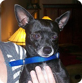 Chihuahua Dog for adoption in DeLand, Florida - Willie