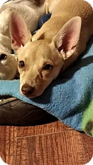Fox Terrier (Smooth)/Chihuahua Mix Puppy for adoption in San Diego, California - Lemon Drop