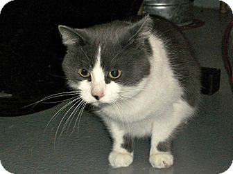 Domestic Shorthair Cat for adoption in Flint, Michigan - Paula