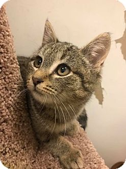 Domestic Shorthair Kitten for adoption in Bensalem, Pennsylvania - Jessie