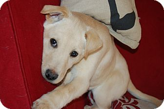 Labrador Retriever Mix Puppy for adoption in Minot, North Dakota - Christopher