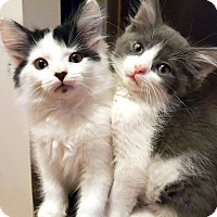 Adopt A Pet :: Snowpea - St. Louis, MO