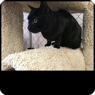 Domestic Shorthair Cat for adoption in Fallbrook, California - Otis