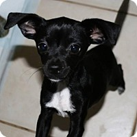 Chihuahua Mix Puppy for adoption in Sarasota, Florida - Hayden