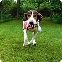 Adopt A Pet :: Moose - Lafayette, NJ