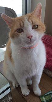 Domestic Shorthair Cat for adoption in Columbus, Ohio - Mr. Howell