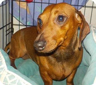Dachshund Mix Dog for adoption in Mount Pleasant, South Carolina - Coco