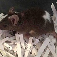 Adopt A Pet :: ARWEN - Urbana, IL