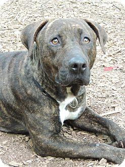 Plott Hound Mix Dog for adoption in Walden, New York - Winnie