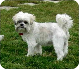 Shih Tzu/Lhasa Apso Mix Dog for adoption in Ile-Perrot, Quebec - Skippy