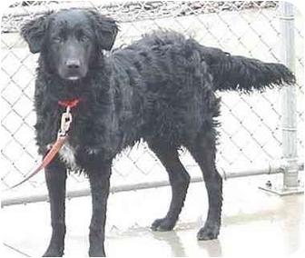 Retriever (Unknown Type)/Retriever (Unknown Type) Mix Dog for adoption in Austin, Minnesota - Ozzie