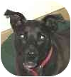 Labrador Retriever/Terrier (Unknown Type, Medium) Mix Dog for adoption in Eatontown, New Jersey - Lucky