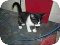 Domestic Mediumhair Kitten for adoption in Bowie, Texas - Cleopatra