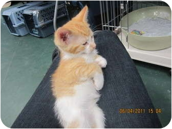Domestic Shorthair Kitten for adoption in Sterling Hgts, Michigan - Dewey (personality)