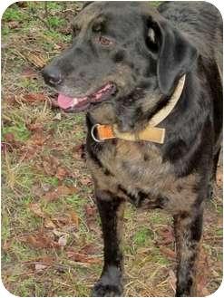 Labrador Retriever/Catahoula Leopard Dog Mix Dog for adoption in Thomaston, Georgia - Jaybo