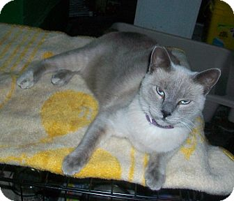 Siamese Cat for adoption in lake elsinore, California - Twinkie
