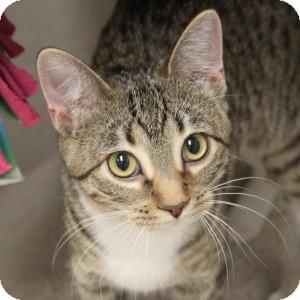 Domestic Shorthair Kitten for adoption in Naperville, Illinois - Eloise