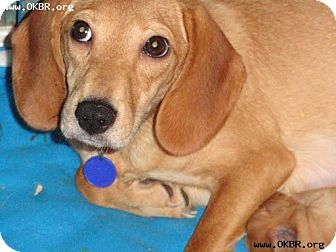 Beagle/Dachshund Mix Dog for adoption in Norman, Oklahoma - Fancy
