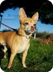 Chihuahua Dog for adoption in Mt Gretna, Pennsylvania - Penny R. Cade