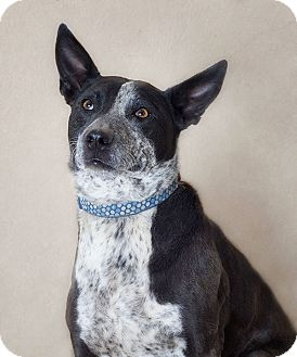 Australian Cattle Dog Mix Dog for adoption in Phoenix, Arizona - Darby