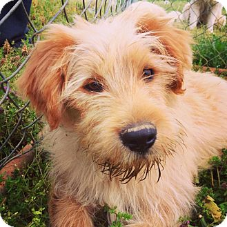 Labradoodle Mix Puppy for adoption in New Jersey, New Jersey - NJ - Curly