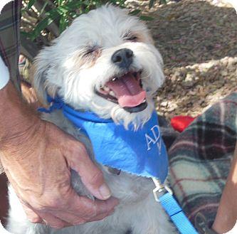 Terrier (Unknown Type, Small) Mix Dog for adoption in Phoenix, Arizona - Ziggy