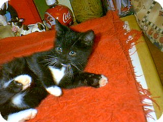 Domestic Shorthair Kitten for adoption in Winchendon, Massachusetts - PurrGirl