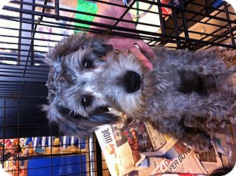 Schnauzer (Standard) Puppy for adoption in Nuevo, California - Kirby